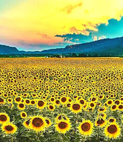 Landscape Sunset Nature Flower Beauty In Nature Cloud - Sky Backgrounds Pattern Fragility Flower Head Sky Scenics Freshness Agriculture Sunflower Plant Outdoors No People Horizon Day