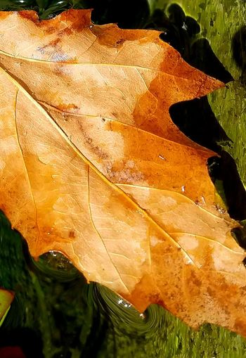 Macro Leaf Leaf Vein Natural Pattern Close-up Dry Season  Autumn Change Nature Brown Natural Condition Field Beauty In Nature Selective Focus Tranquility Plant Fragility Day Botany Fine Art Photography Still Life Photography Check This Out Meditation Rust Colored Leave