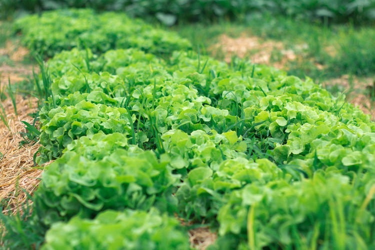 Vegetable Seeds & Plants in thailand Salad Beauty In Nature Close-up Day Food Food And Drink Freshness Green Color Growth Healthy Eating Leaf Nature Outdoors Plant Selective Focus Vegetable