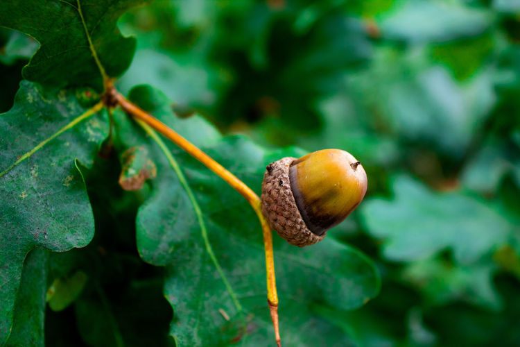 Acorn Acorn Beauty In Nature Close-up Day Focus On Foreground Food Food And Drink Freshness Fruit Green Color Growth Healthy Eating Leaf Nature No People Outdoors Plant Plant Part Selective Focus Tree