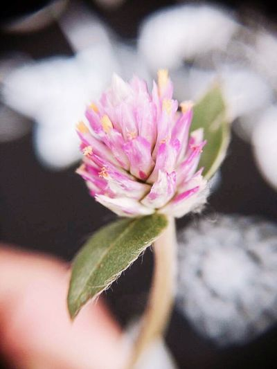 Flower Beauty In Nature Close-up Nature Flower Head Pink Color Plant No People
