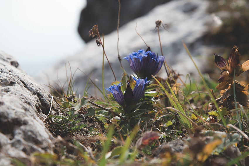 Flowering Plant Flower Plant Growth Beauty In Nature Fragility Vulnerability  Freshness Close-up Selective Focus Nature Land No People Day Field Petal Purple Flower Head Inflorescence Outdoors Iris Crocus