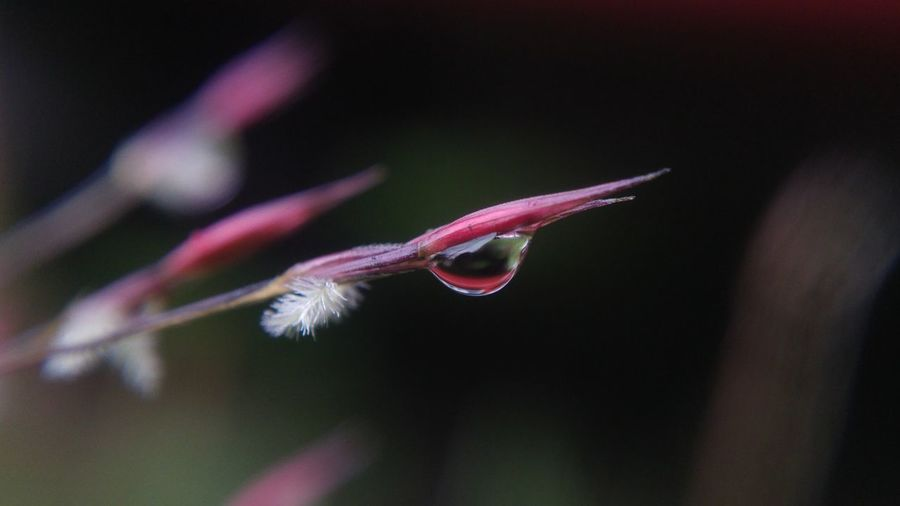 Close-up of water drop on pink bud