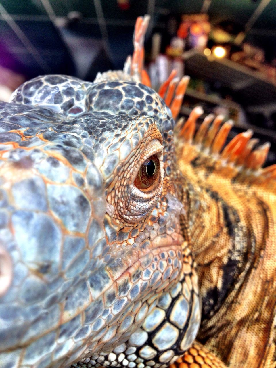 animal themes, reptile, one animal, animals in the wild, close-up, animal wildlife, no people, day, indoors, iguana, nature