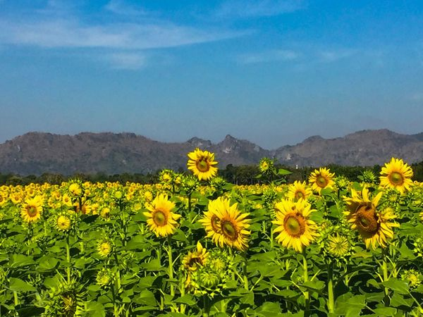 Traveling Home For The Holidays Flower Yellow Beauty In Nature Nature Sunflower Lopburi Thailand Oilseed Rape Rural Scene Field Fragility Agriculture Mustard Plant Landscape Crop  Scenics Mountain Plant Freshness Farm Tranquil Scene Springtime