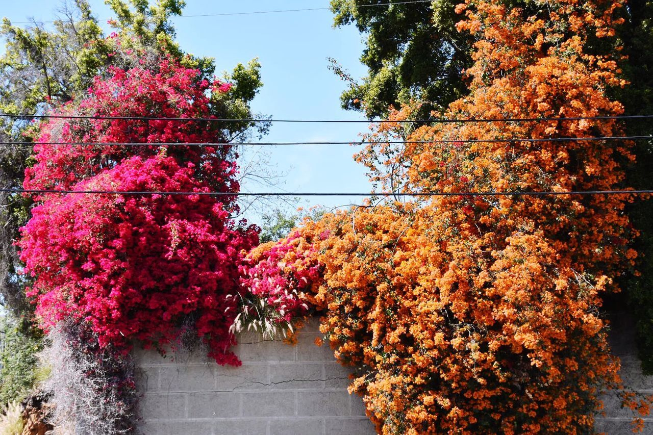 autumn, tree, leaf, growth, change, nature, beauty in nature, red, flower, plant, day, no people, outdoors, maple leaf, bougainvillea, architecture, close-up, sky, maple, freshness