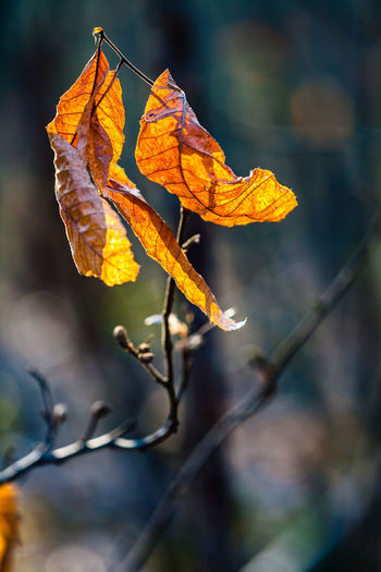 Close-Up Of Dry Maple Leaf On Tree During Autumn