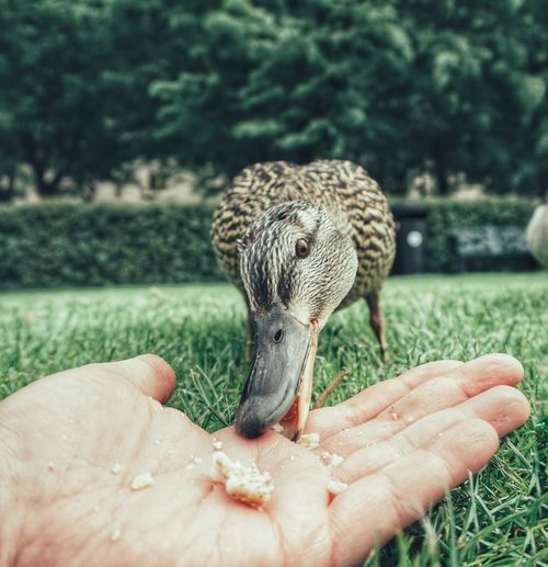 Eating Park Duck Feed  Mallard Duck 2019 Niklas Storm Juni Human Hand Close-up My Best Photo