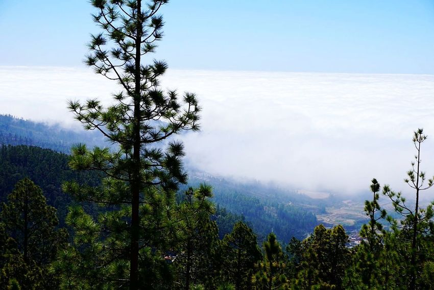 At The Top Of The Mountain Tree Pinaceae Mountain Pine Tree Forest Cloud - Sky Nature Landscape Mountain Range Blue Outdoors Sky Beauty In Nature Scenics Lost In The Landscape Perspectives On Nature