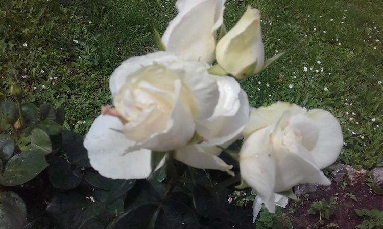 #love Beauty In Nature Blooming Close-up Day Ellegance Flower Flower Head Fragance Fragility Freshness Growth Innocence May Nature No People Outdoors Petal Plant Rose - Flower Seduction Sophistication White Color White Roses Womanhood