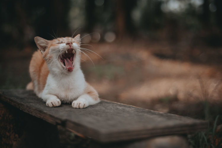 Full length of cat yawning outdoors