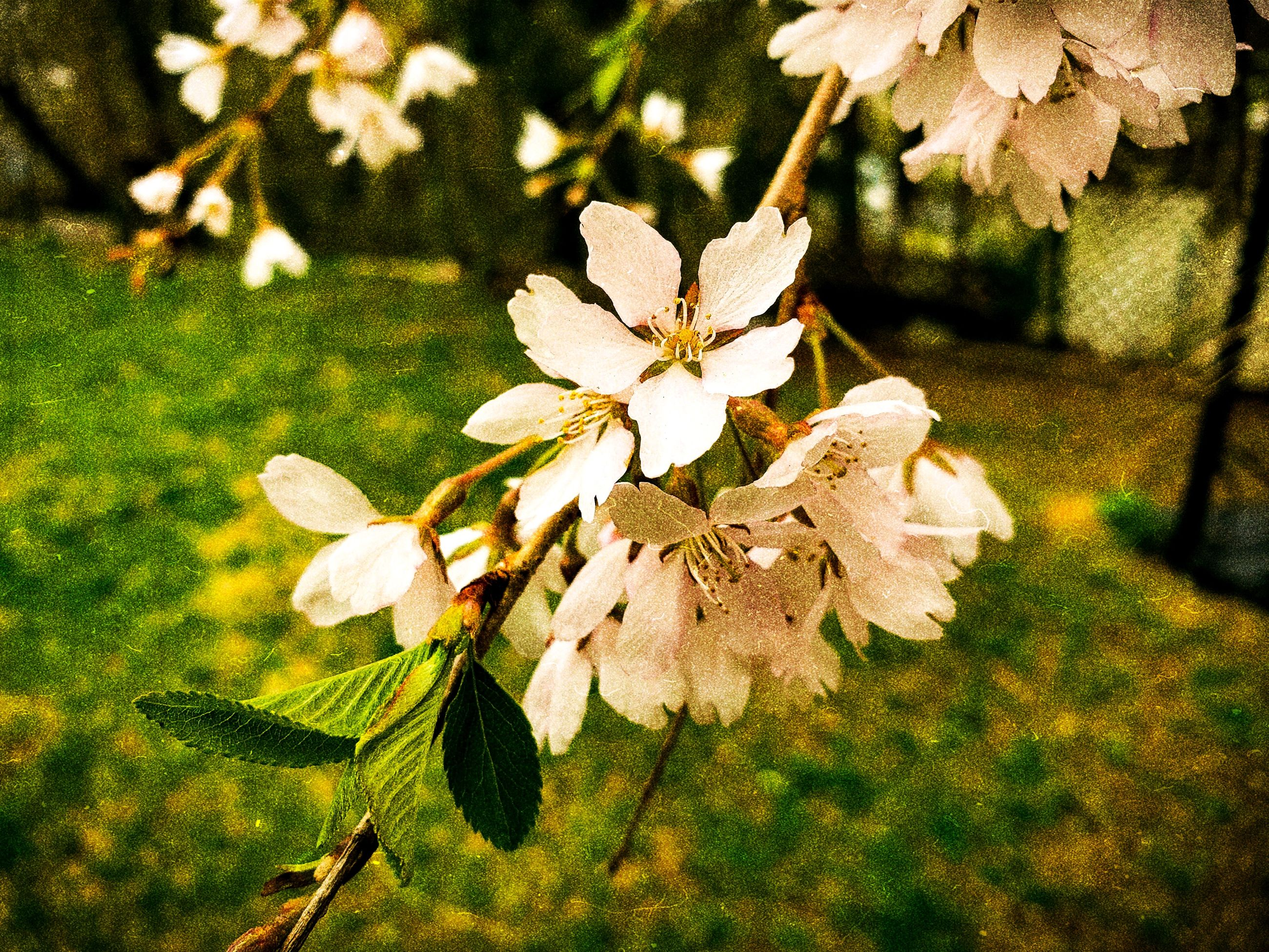 plant, growth, beauty in nature, flowering plant, flower, fragility, close-up, freshness, vulnerability, focus on foreground, petal, plant part, leaf, nature, flower head, no people, day, inflorescence, tree, white color, outdoors, springtime, pollen, cherry blossom