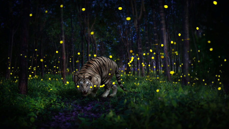 Tiger in forest at night