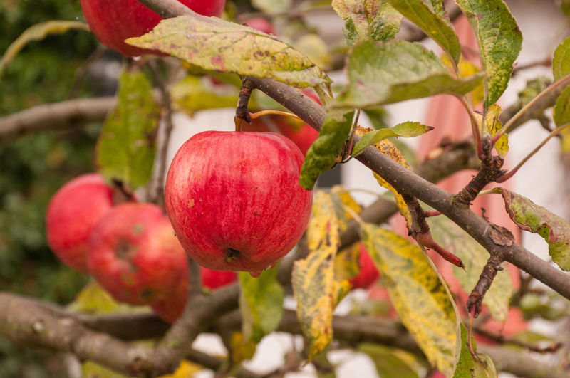 Close-Up Of Apple Growing Outdoors