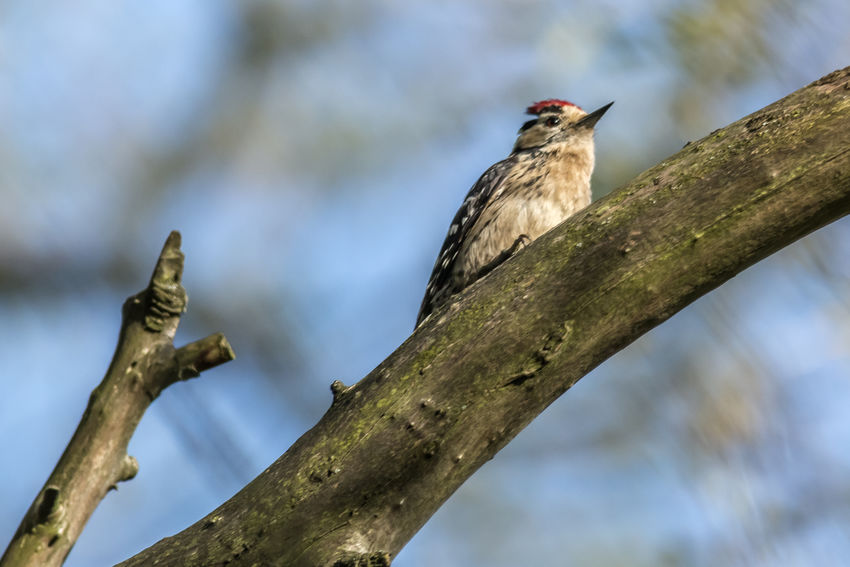 A lesser pied woodpecker on a branch Branches Tree Animal Themes Animal Wildlife Animals In The Wild Bird Birds Birdslife Birdsworld Branch Close-up Day Dendrocopus Minor Feather  Feathering Lesser Pied Woodpecker Nature No People One Animal Outdoors Plumage Wood - Material Woodpecker Woodpeckers