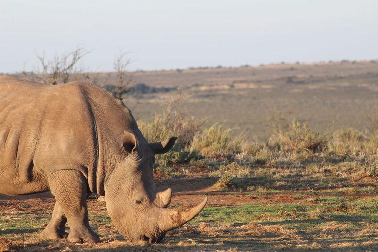 Side view of rhinoceros grazing on field