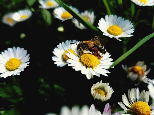 Flower Head Flower Bee Pollination Yellow Insect Petal Close-up Animal Themes Plant Honey Bee In Bloom Blooming Plant Life EyeEmNewHere