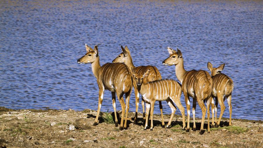 Group of nyalas standing by lake