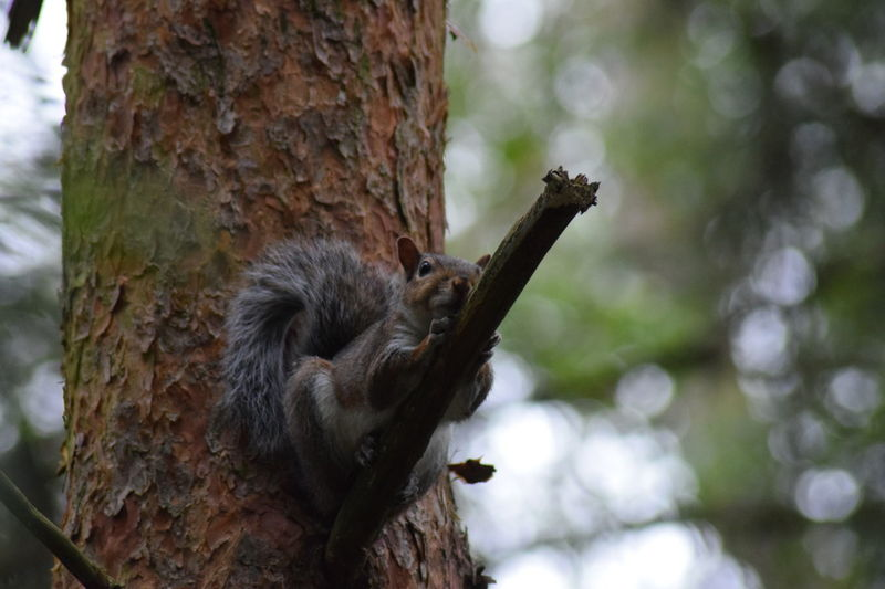 Animal Hair Animal Themes Animals In The Wild Bark Beauty In Nature Branch Brown Close-up Differential Focus Focus Of Foreground Focus On Foreground Growth Nature No People One Animal Squirrel Tranquility Tree Tree Trunk Wildlife Woodpecker Zoology