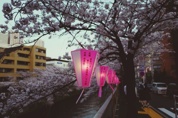 Meguro River lanterns 🌸 Lantern Meguro River Cherry Blossoms Sakura Tree Plant Building Exterior Architecture Built Structure City Nature Hanging Street Lighting Equipment Pink Color