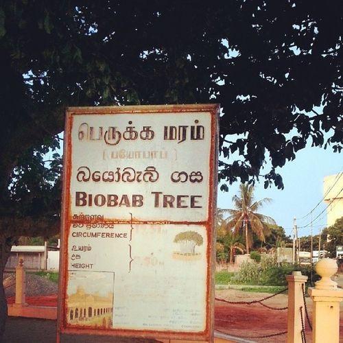 Biobab tree info
