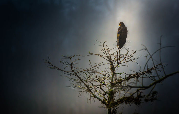 Snail Kite roosting in the early morning highlighted by shaft of light from break in fog. Animal Themes Animal Wildlife Animals In The Wild Bare Tree Beauty In Nature Bird Bird Of Prey Branch Endangered Animals Foggy Foggy Morning Low Angle View Mysterious Mystery Nature No People One Animal Outdoors Perching Roosting Snail Kite Threatened Species Tree