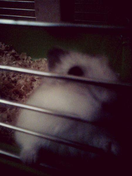 Hello World Love ♥ Hamster ♡ Enzo <3 My Pets Lovely Loveitsomuch Dangerous One_shot
