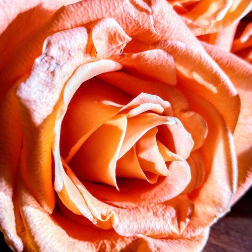 Roses Rose -