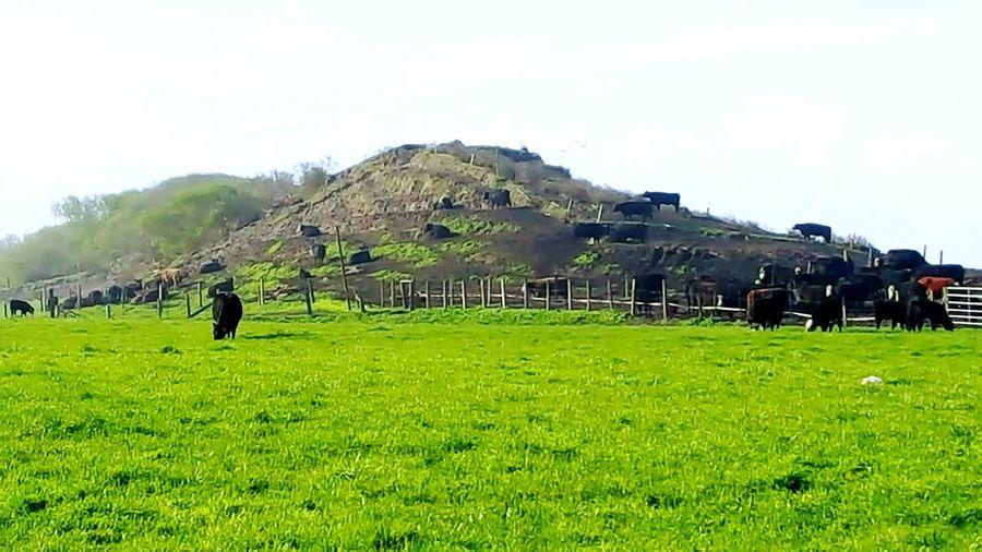 California Cows