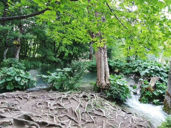 Growth Nature Tree No People Outdoors Day Tranquility Green Color Beauty In Nature Tree Arrels Plant Llacs Lakes  Plitvice Lakes National Park Natural Parks Lakes  Croatia Croacia