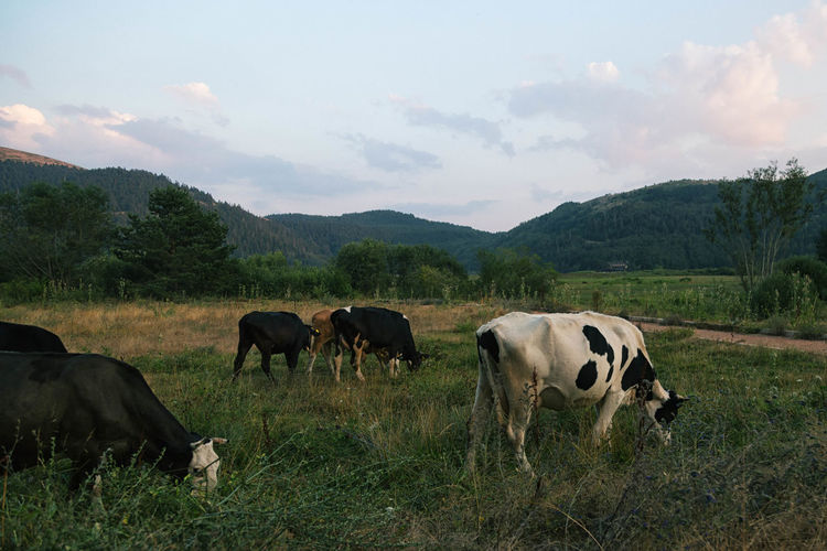 Cows grazing on grassy field by mountains against sky