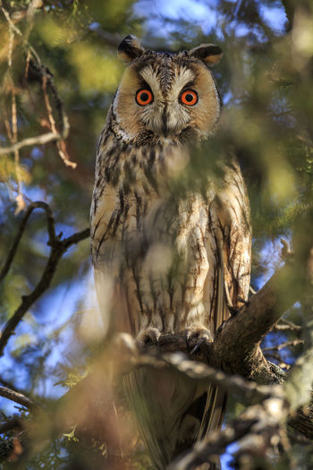 At winter time, the Hungarian town Túrkeve attracts long-eared owls. They sit in the trees around the town square during day time. Tree Bird Animal Themes Animal Bird Of Prey Animal Wildlife Vertebrate One Animal Animals In The Wild Branch Looking At Camera Owl Plant Perching Portrait Day Nature Low Angle View No People Selective Focus Outdoors Yellow Eyes Eagle Long-eared Owl Hungary