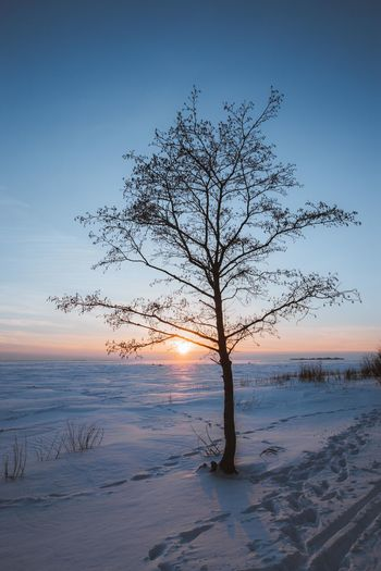 Bare tree on snow covered land during sunset