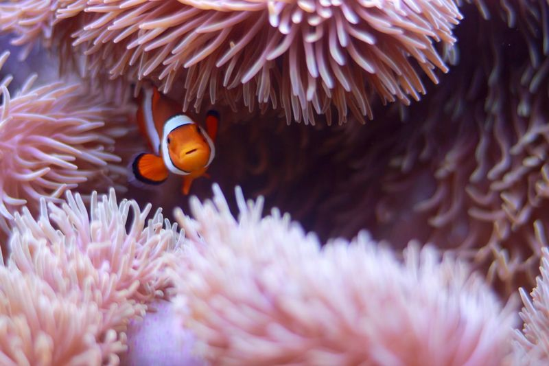 High angle view of clown fish amidst sea anemone