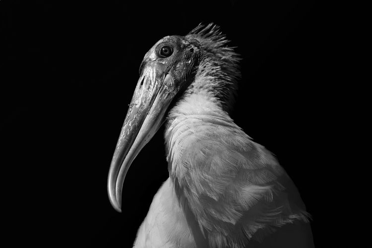 Close-up of wood stork against black background