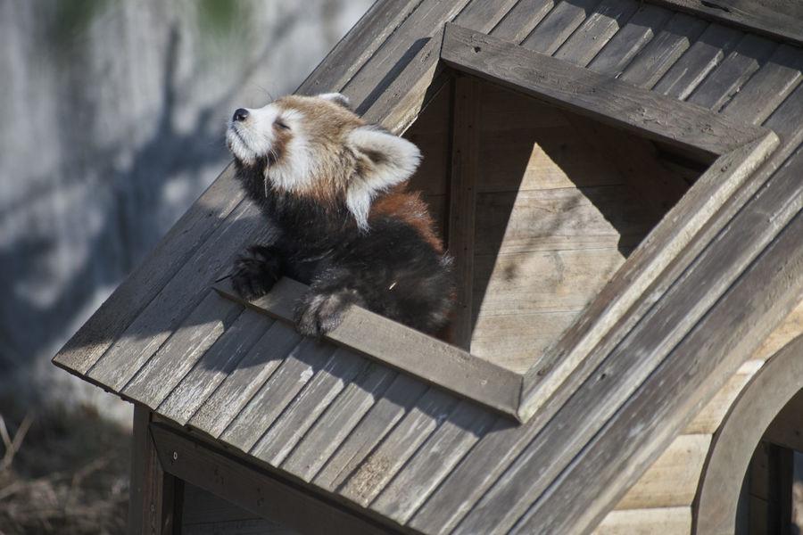 Animals In Japan Ailurus Fulgens Styani Thomas Ailurus Fulgens Animal Themes Cute Japan One Animal Red Panda Zoo