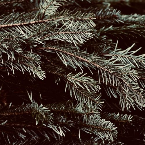 Christmas Greens Close-up Growth Plant Beauty In Nature Nature Tree Backgrounds Full Frame Pine Tree Branch Winter Celebration Fir Tree Coniferous Tree Focus On Foreground Tranquility Cold Temperature Needle - Plant Part Holiday Christmas Decoration Square December Evergreen