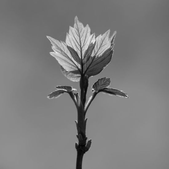 Small maple tree leafs backlit by sun in spring Natural Light Part Of Back Lit Beauty In Nature Beginnings Black And White Branch - Plant Part Close-up Contrasts Focus On Foreground Fragility Growth In The Center Leaf Leaf Vein Light - Natural Phenomenon Maple Leaf Maple Tree Outdoors Plant Selective Focus Simplicity Single Tree Springtime Vulnerability