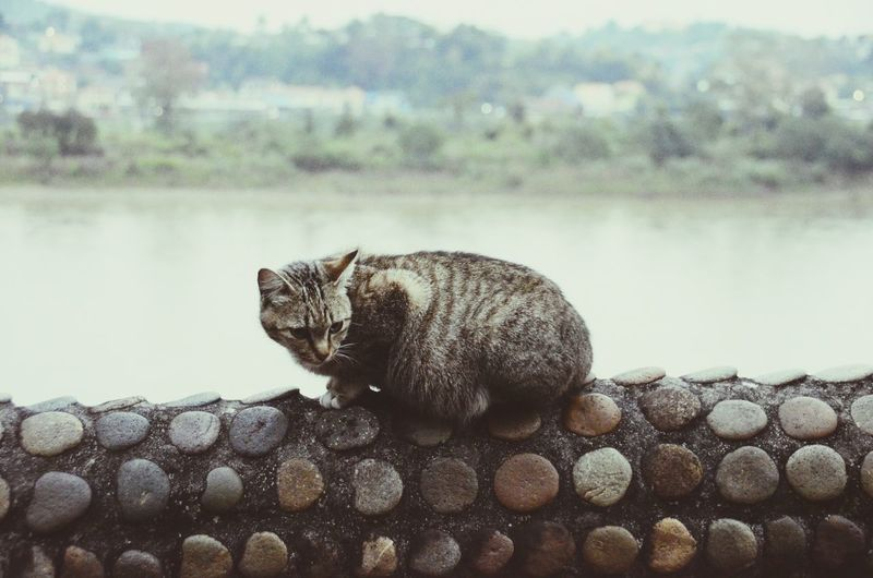 Pregnant Cat Sitting On Surrounding Wall Against Lake
