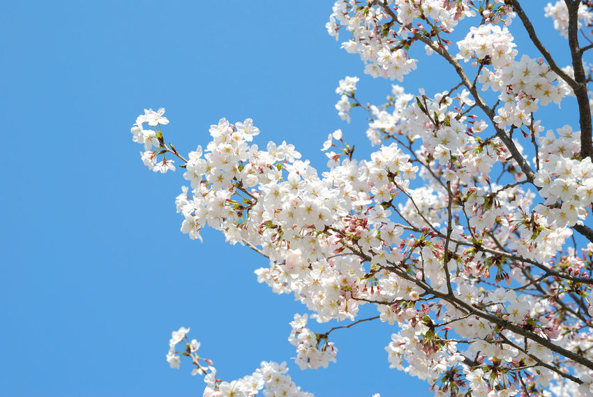 Green Festival Season Spring Flowers Tree Nature Sky Beauty In Nature Clear Sky No People Improvement Colors Korea Spring 2017 . Cherry Blossom Tree Tradition Cherry Blossoms Flowers 🌸🌸🌸 Light - Natural Phenomenon Forest Bright Sunny Blue Sky Low Angle View Public Park Tree Trunk