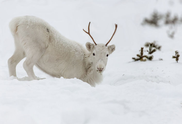 Lapland Lappland Reindeer Scandinavia Sweden Animal Themes Animal Wildlife Animals In The Wild Close-up Cold Temperature Day Domestic Animals Mammal Nature No People Norrbotten One Animal Outdoors Snow White Color White Reindeer Winter