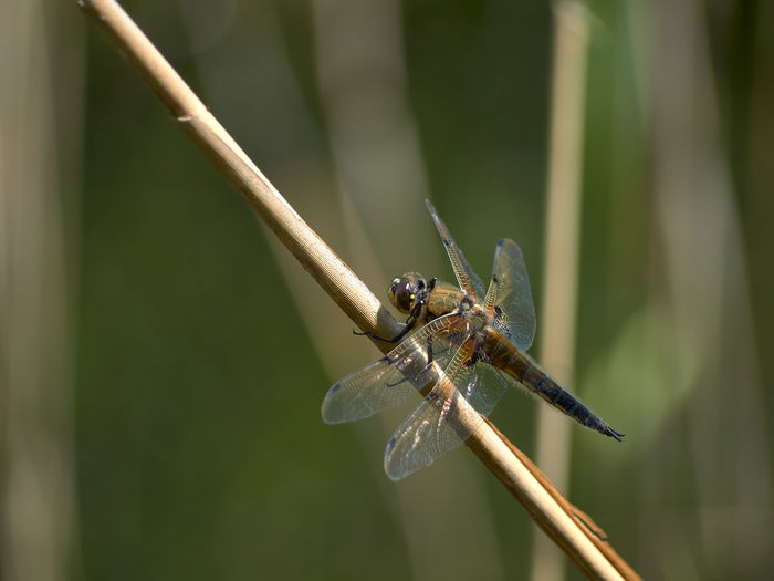 Hairy dragonfly Dragonfly Hairy Dragonfly Animal Animal Themes Animal Wildlife Animal Wing Animals In The Wild Blade Of Grass Close-up Day Focus On Foreground Green Color Insect Invertebrate Nature No People One Animal Outdoors Plant Plant Stem Selective Focus Stick - Plant Part Twig Zoology