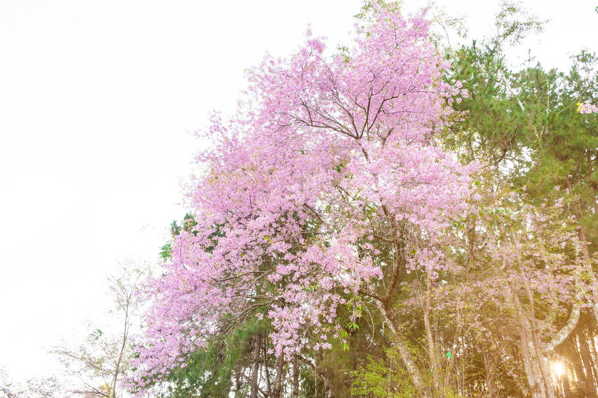 Japan Sakura Thailand Beauty In Nature Blossom Branch Bunch Of Flowers Cherry Blossom Cherry Tree Flower Flowering Plant Fragility Freshness Growth Low Angle View Nature Outdoors Pink Color Plant Purple Sakura Blossom Sky Spring Springtime Tree
