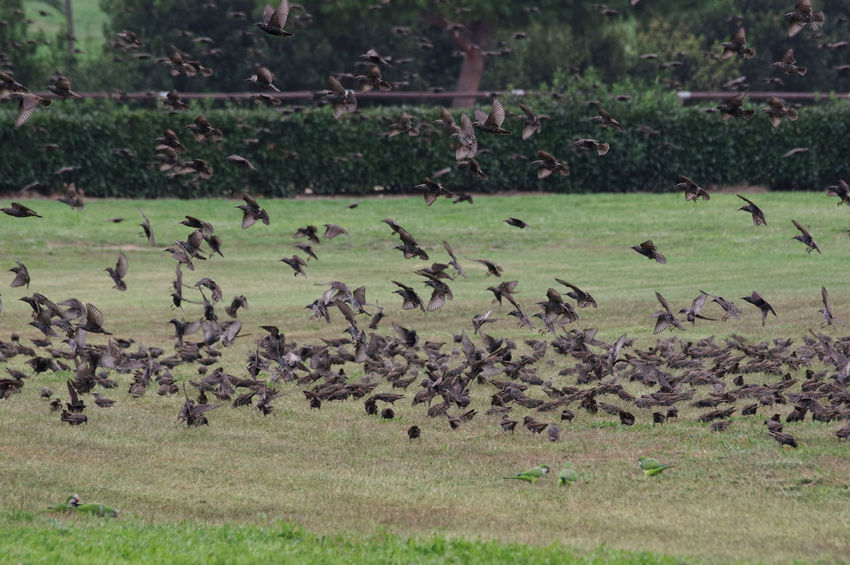 Flock Of Birds Large Group Of Animals Nature Animal Animal Themes Animal Wildlife Beauty In Nature Flock Of Birds On The Grass Flock Of Birds, Movement, Flock Of Starlings Starlings