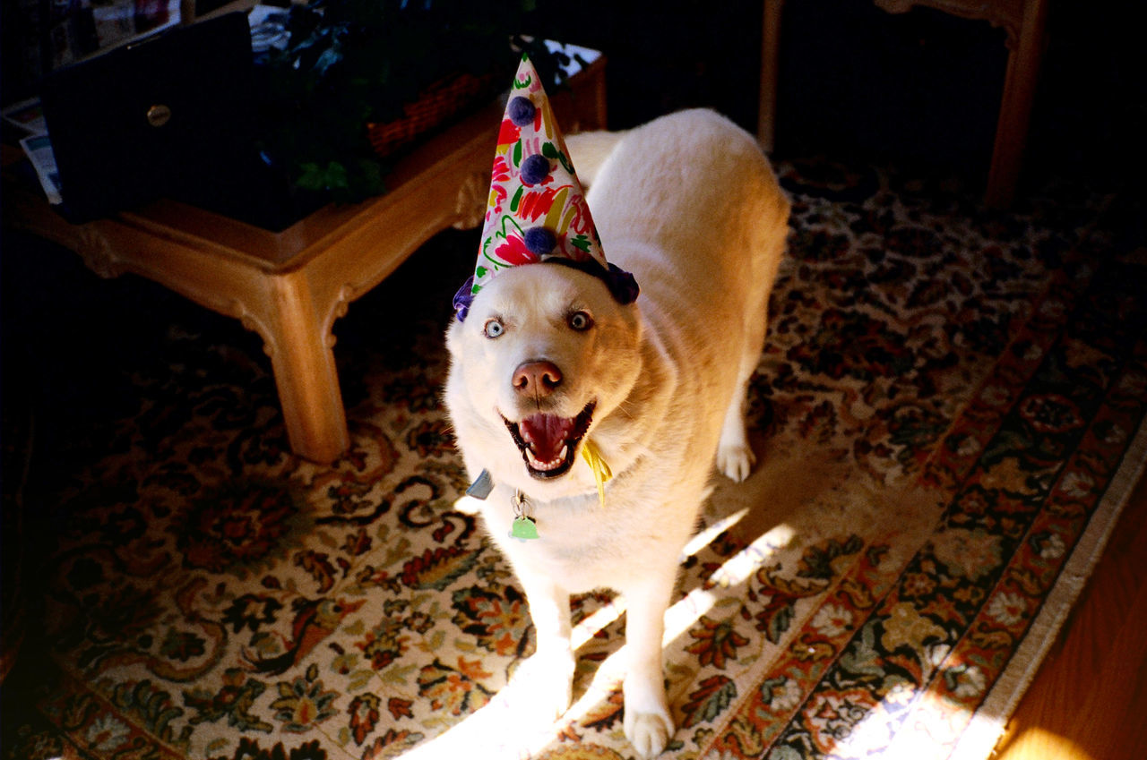 Portrait Of Dog Wearing Party Hat At Home