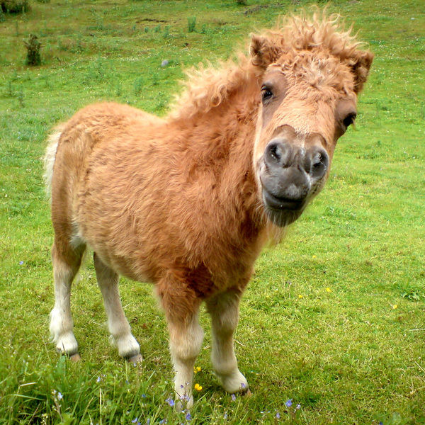A Shetland pony foal. Animal Animal Head  Close-up Field Foal Grass Horse Nature Outdoors Pony Shetland Pony Square