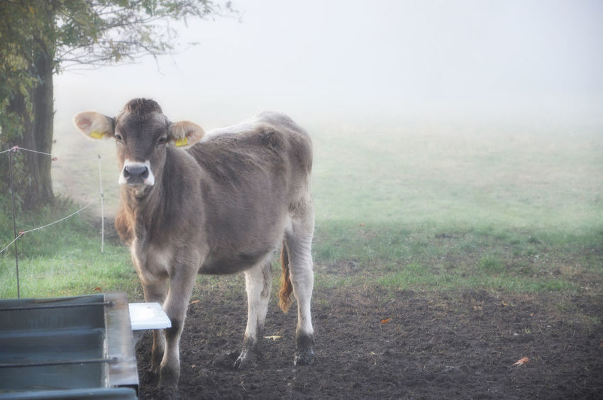 Cute Cow Looking At Camera Animal Animal Themes Animal Wildlife Cattle Cow Day Domestic Domestic Animals Field Fog Grass Herbivorous Land Livestock Mammal Nature No People One Animal Outdoors Pets Plant Standing Vertebrate Young Cow