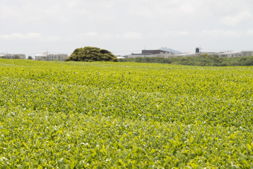 landscape of green tea field at Osulloc in Jeju Island, South Korea Agriculture Architecture Beauty In Nature Building Exterior Built Structure Day Field Freshness Grass Green Color Green Tea Field Growth JEJU ISLAND  Landscape Nature No People Osulloc Outdoors Rural Scene Scenics Sky Soccer Field