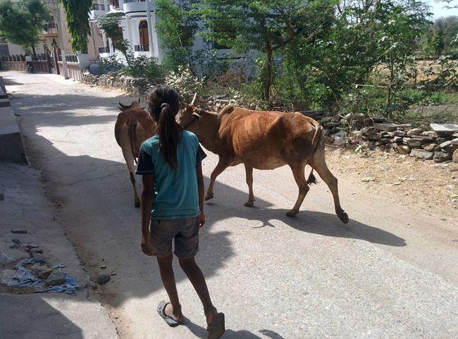 Cow Girl Animal Road Mammal Shadow Sunlight Pets Domestic Animals Vertebrate Nature