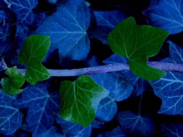 Overlay Editing EyeEmNewHere EyeEm Best Shots - Nature Backgrounds Beauty In Nature Green Blue Winter Cold Ivy Ivyleaves Close Up Nature Leaf Plant Growth Green Color Nature Day Outdoors No People Fragility